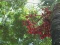 Plody palmy