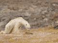 Globálne otepľovanie: VIDEO Srdcervúce zábery na smrť vyhladovaného medveďa pobúrili celý svet