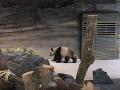 VIDEO Prefíkaná panda bavila ľudí, odborníci si lámali hlavu: Berlínska ZOO vyriešila záhadu