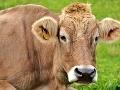 Prírodovedci sú šokovaní: Pozrite, čomu dala prednosť krava na FOTO pred teplým chlievom