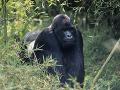 Smútok v americkom safari parku: Jedna z najstarších goríl na svete odišla na druhý svet
