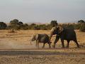 Bezcitné beštie v Zimbabwe: Pytliaci otrávili kyanidom štyri slony