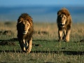 Strašidelná smrť lovca (†50) v rezervácii: V noci ho napadli levy, zostala iba krvavá hlava