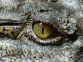 Krokodíl zabil muža, miestni