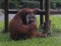 VIDEO Zoo pod paľbou kritiky: Orangutanovi vo výbehu dovolila robiť niečo strašné