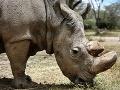 Slovensko je proti dovozu rohov nosorožcov: Absolútny zákaz platí do odvolania