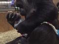 VIDEO Gorila porodila svoje prvé mláďatko: Neuveriteľné puto dojíma ľudí na celom svete