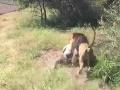 Vydesení diváci plakali od hrôzy: VIDEO Lev zaútočil na Brita v parku s divými šelmami