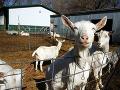 VAROVANIE Inšpekcia zistila prítomnosť vírusu v mlieku: Je nakazené kliešťovou encefalitídou!