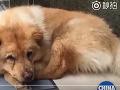 VIDEO Tento psík dojal svet: Každý deň odprevadí svojho pána na stanicu a čaká na neho dlhé hodiny