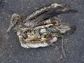 Tisíce albatrosov umierajú.