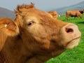 Bizarný prípad v rakúskych Alpách: Kravy pri krčme zabili turistku, farmár dostal mastnú pokutu