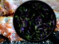 Štátna veterinárna a potravinová správa zistila v odobratej vzorke mäsa prítomnosť salmonelózy