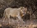 Pytliakov dobehla karma, a to doslova! Chceli uloviť nosorožca, z lovcov sa stala korisť
