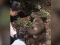 VIDEO Dievčatko chcelo nakŕmiť opicu v zoo: V šoku padá na zem, toto nečakalo!