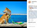 Shibi má aj vlastný profil na Instagrame.