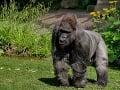 V zoo v Norimbergu utratili najstaršiu gorilu v Európe vo veku 55 rokov