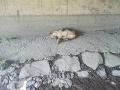 Sučka nemeckého ovčiaka ležala 20. augusta pod mostom v obci Sokoľany.