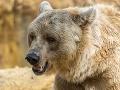 Medveď vyčíňa v českom mestečku: Mŕtve zvieratá a škody za tisíce korún