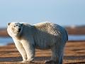 V Nórsku zabil ľadový medveď cudzinca! Ďalší ľudia skončili v nemocnici, utrpeli šok