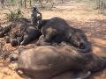 Ďalšia čierna kapitola ľudstva: Masaker proti prírode, za pár dní vyhubili najviac slonov v dejinách