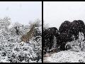 Príroda sa totálne zbláznila: VIDEO Africké slony a žirafy sa brodia v snehu, obyvatelia sú v šoku