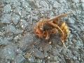 Zmutované sršne na východe Slovenska: FOTO Šokujúci nález na ceste, zabíjajú naše včely!