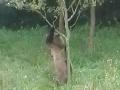Medveď v Česku