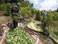 Miliardový biznis z roka na rok rastie: Pestovanie koky v Kolumbii dosiahlo rekordnú úroveň