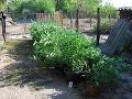 FOTO Obrovský úlovok kriminalistov: Pri Komárne našli sadenice marihuany