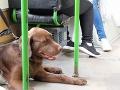 Jana šla ráno do práce MHD, dorazilo ju správanie vodiča trolejbusu: Vadil mu pes, nebol v práve!