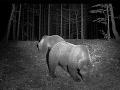 Na Záhorí sa objavila šelma, varujú ľudí: Po senickej pume prichádza šaštínsky medveď