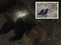 Liptovčanom naháňajú medvede strach: FOTO Túlajú sa v blízkosti obydlí a ciest, poľovníci sú bezradní