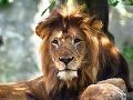 Mierumilovný dobrák? Lev je vždy šelma.