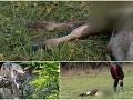 Oravčanov ohrozujú krvilační vlci: FOTO Štefanovi v noci spotvorili teliatko, svorka sa asi vráti