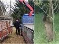 Zdĺhavý hon sa skončil fiaskom: FOTO Medveď má svoj rozum, tvrdia Česi, teraz sa asi túla u nás!