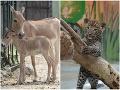 Ňuňu, toto sú najrozkošnejšie zvieracie bábätká roka: FOTO Bratislavská ZOO ukázala svoje zlatíčka
