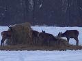 Ostro kritizované VIDEO: Poľovníci nastražili pascu, aby prilákali korisť, Slováci sa búria