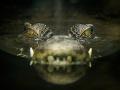 Šok na farme v Austrálii: V krokodílom žalúdku našli TOTO, muselo to patriť človeku