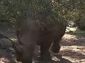 Dievčatko sa našťastie podarilo pred nosorožcami uchrániť.