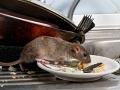 Potkany vzbudzujú strach i