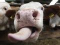PARANORMÁLNE javy na bitúnku: Krava mala byť mŕtva... Totálny šok, zamestnanec nechápal