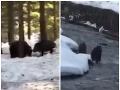 Súboj medveďa s diviakom.