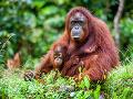 Orangutány môžu výstavbou prísť
