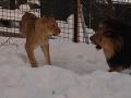 Z levov mali strach aj susedia.