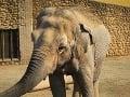 Smutná bilancia zo Srí Lanky: Minulý rok zahynul rekordný počet slonov, väčšinu zabili ľudia