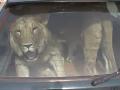 Takto prevážal svojich levov k veterinárovi vzdialenému 400 km.