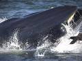VIDEO Potápača takmer zhltla veľryba! Príbeh ako z Biblie s nečakaným koncom