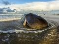 WWF bije na poplach: Na pobreží Sardínie našli mŕtvu veľrybu, z obsahu žalúdka zaplačete