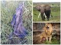 Pytliaka stihol krutý osud: Zabil ho slon a roztrhali levy, odstrašujúce FOTO pozostatkov